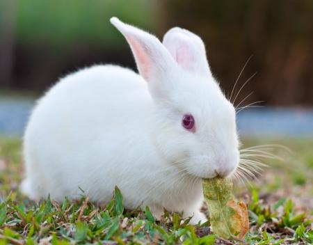 Foto de White rabbit in the farm - Imagen libre de derechos