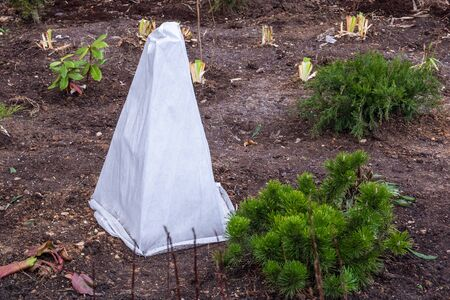 Photo pour Seedlings trees in the garden are covered with a protective cloth from frost. - image libre de droit