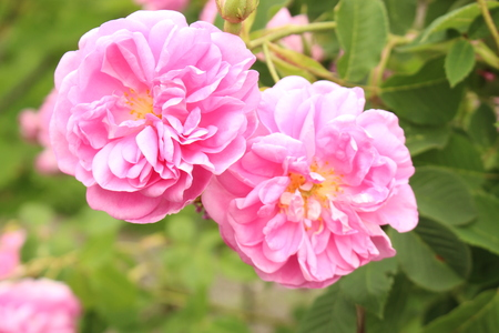 Damask Rose flower (or Rose of Castile) in Innsbruck, Austria. Its Latin name is Rosa Damascena, derived from Rosa Gallica and Rosa Moschata.
