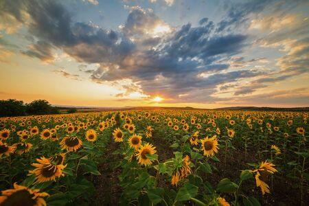 Photo for Beautiful sunflower field during golden sunset on a summer evening - Royalty Free Image