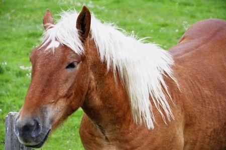 Chestnut horse with white mane