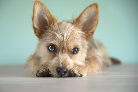 Photo for cute mix dog puppy with bleu eye - Royalty Free Image