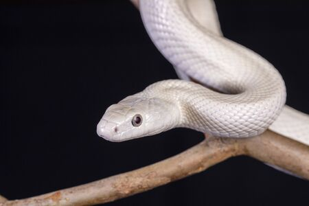 Photo pour The Texas rat snake (Elaphe obsoleta lindheimeri ) is a subspecies of rat snake, a nonvenomous colubrid found in the United States, primarily within the state of Texas.. - image libre de droit