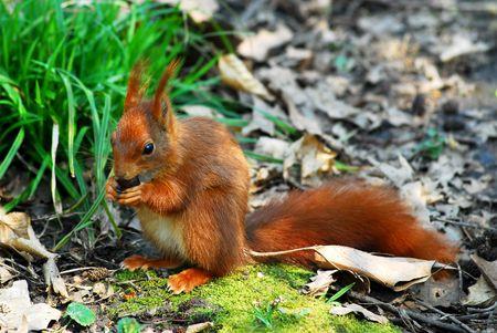 Red squirrel (Sciurus vulgaris) eating a hazelnut