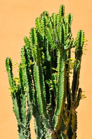 Euphorbia cactus on yellow background