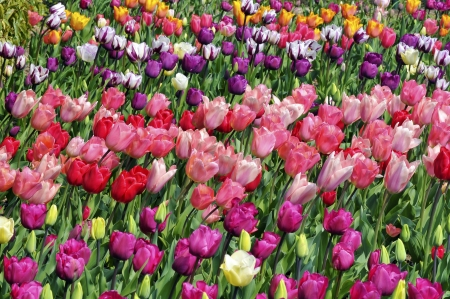 Cultivated of red and pink tulips