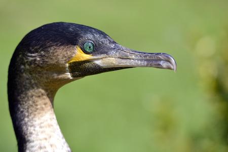 Profile portrait of Great Cormorant  Phalacrocorax lucidus  with the green eyes