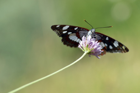 Southern White Admiral butterfly  Limenitis reducta  feeding on flower