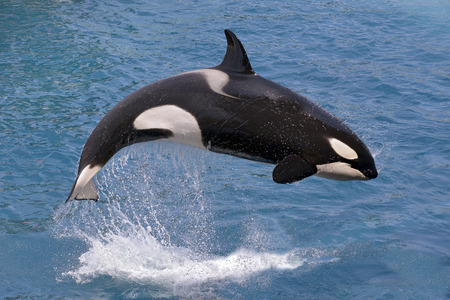 Orcinus orca killer whale jumping out of the water