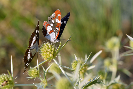 Two Southern White Admiral Limenitis reducta butterflies feeding on thistles