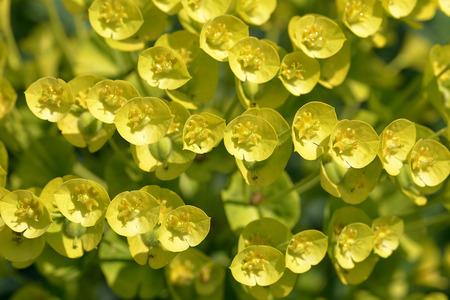 Closeup of Euphorbia characias in garden
