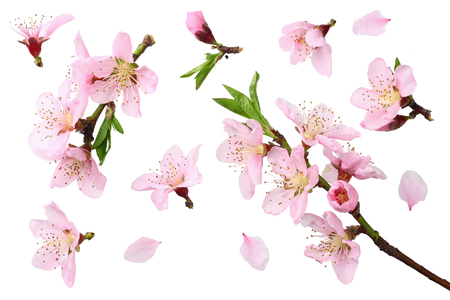 Photo for peach flowers isolated on white background. top view - Royalty Free Image