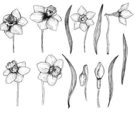 Photo pour Hand drawn set of daffodils. Isolated ink spring flowers on a white background - image libre de droit