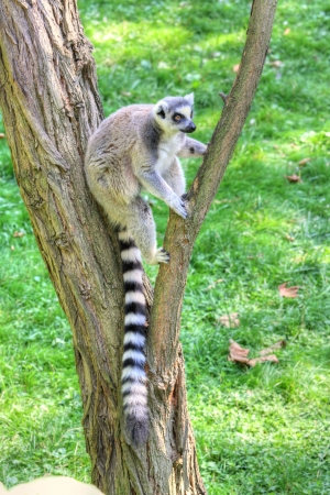 white-headed lemur with long tail sitting on the tree