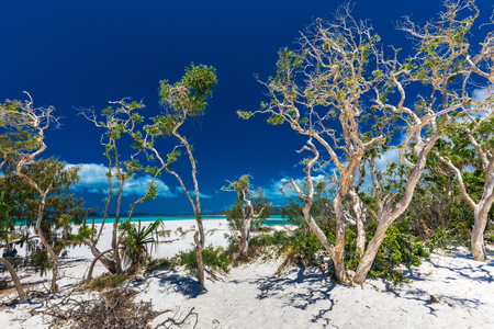 Amazing Whitehaven Beach in the Whitsunday Islands with white trees, Queensland, Australia