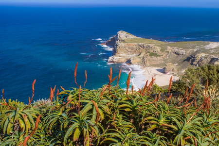 Blooming red aloes overlooking deep blue Atlantic ocean at Cape Point