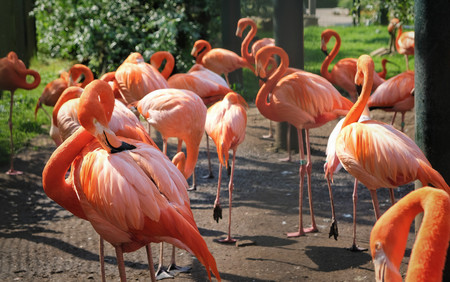 Photo pour A group flamingos are searching for food in the amsterdam zoo - image libre de droit