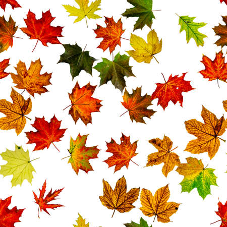 Photo pour Maple leaf seamless pattern. Colorful maple foliage. Season leaves fall background. Autumn yellow red, orange leaf isolated on white - image libre de droit