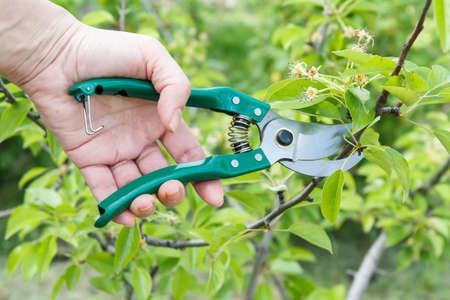 Foto für Female farmer looks after the garden. Spring pruning of fruit trees. Woman with a pruner shears the tips of a pear tree. Garden tools. - Lizenzfreies Bild
