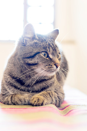 A gray striped cat sits in the room of the village house against the window