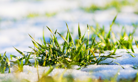 Photo pour Green grass is covered with snow on a clear winter day during thaw - image libre de droit