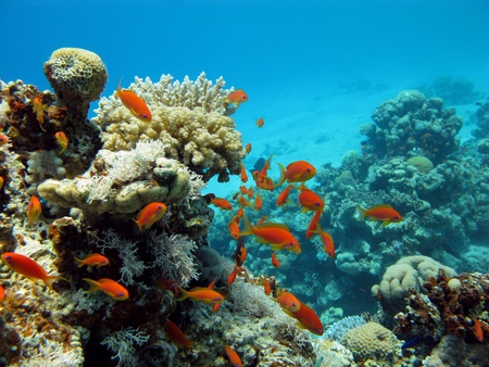 coral reef and orange fishes