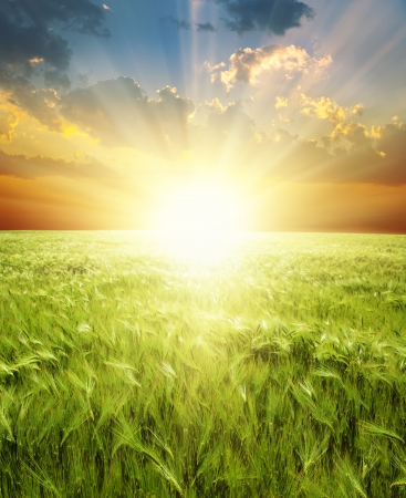 ear of green wheat under sunrays