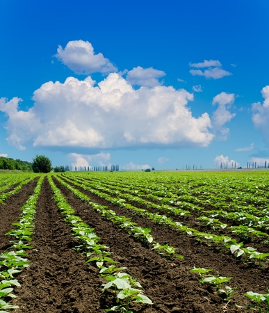 field with green sunflowers under deep blue sky