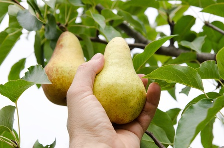 masculine hand pulls off an pear