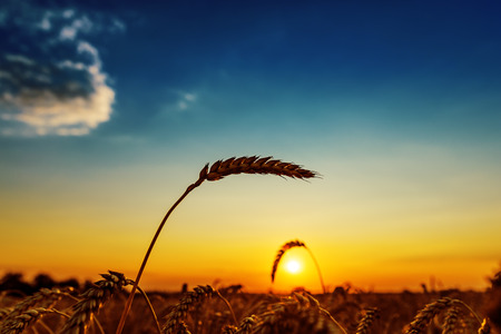 Photo for ear of wheat on field and sunset - Royalty Free Image