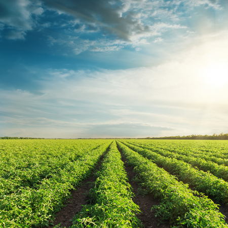 Photo pour agricultural field with green tomatoes and sunset in clouds - image libre de droit