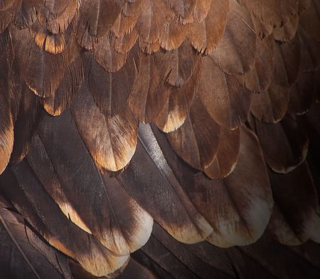The fragment plumage of a golden eagle.