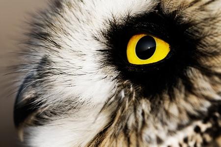 Photo pour Portrait of the Short-eared Owl  (Asio flammeus). - image libre de droit