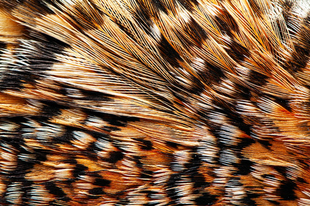 plumage background of Capercaillie closeup