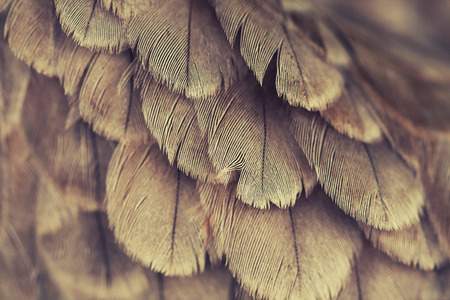 plumage background of a hawk closeup, cross processed effect