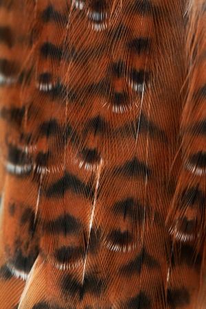 plumage background of a sparrow-hawk closeup