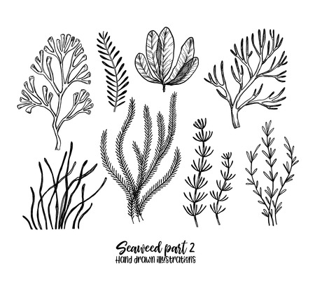 Illustration pour Hand drawn vector illustrations. Seaweed. Herbal plants in sketch style. Perfect for labels, invitations, cards, leaflets, prints etc - image libre de droit