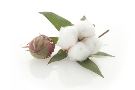 Raw cotton, bud, and leaf