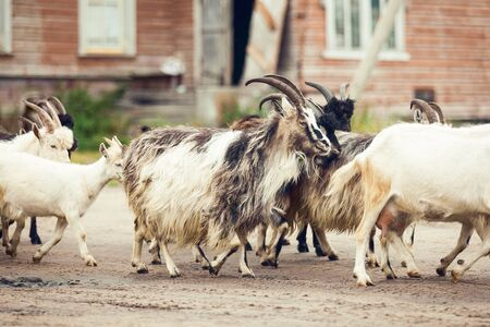 Photo for Goats walking on the farm - Royalty Free Image