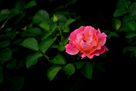 A pink rose, symbol of love and tenderness  The dew wets the green leafs