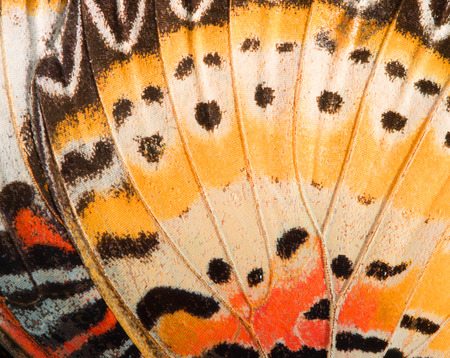 Butterfly wing texture, close up of detail of butterfly wing for background