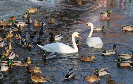 white swans and flock of mallard ducks on the river
