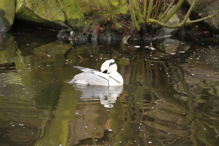 white smew male cleaning its feathers on the water surface