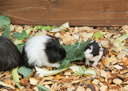 cute little black and white guinea pig and its mother eating leavesの写真素材