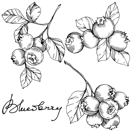 Illustration pour Vector Blueberry black and white engraved ink art. Berries and leaves. Leaf plant botanical garden floral foliage. Isolated blueberry illustration element. - image libre de droit