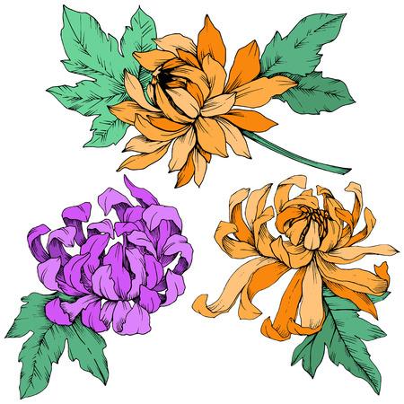Illustration pour Vector Purple and orange Chrysanthemum floral botanical flowers. Engraved ink art. Isolated flower illustration element. - image libre de droit