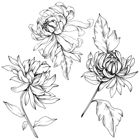 Illustration pour Vector Chrysanthemum floral botanical flowers. Wild spring leaf wildflower isolated. Black and white engraved ink art. Isolated flower illustration element. - image libre de droit