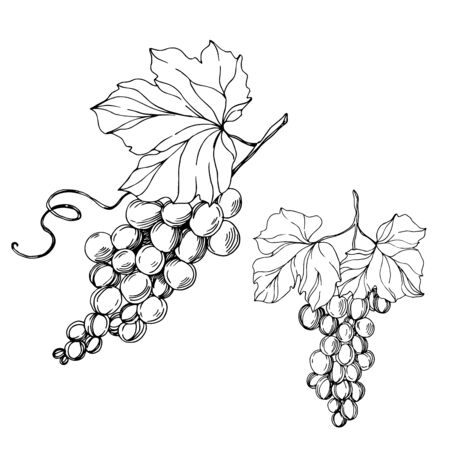 Illustration pour Vector Grape berry healthy food. Black and white engraved ink art. Isolated grapes illustration element. - image libre de droit