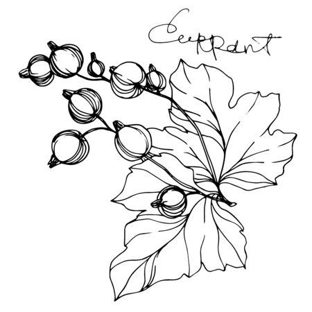 Illustration pour Vector Currant healthy food. Black and white engraved ink art. Isolated strawberry illustration element. - image libre de droit