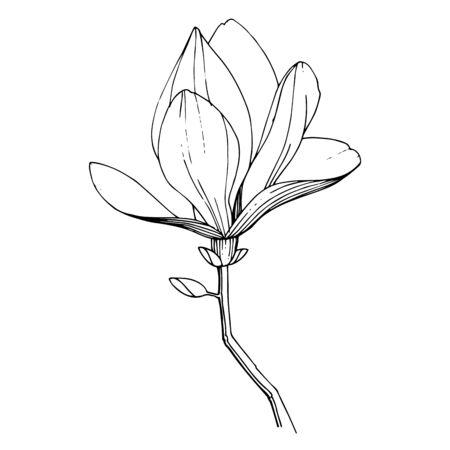 Illustration pour Vector magnolia floral botanical flower. Black and white engraved ink art. Isolated magnolia illustration element. - image libre de droit